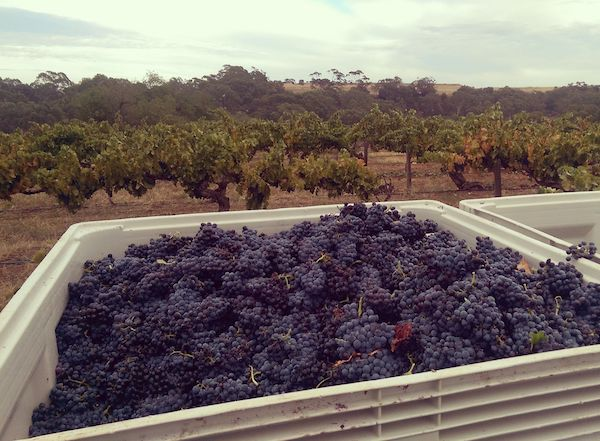 Hand-harvested, old Grenache vines